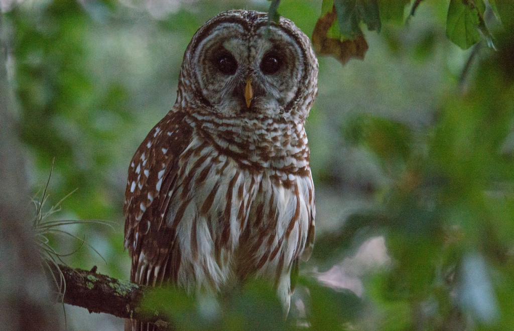 Barred Owl After Sunset! by rickster549