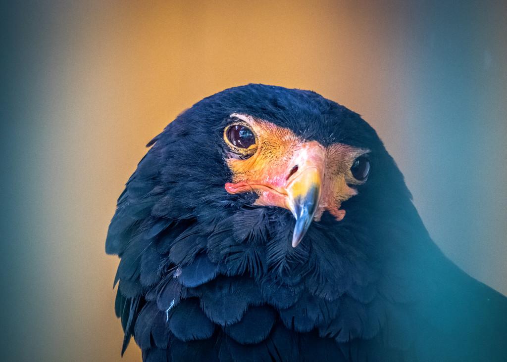 Bateleur Eagle by rosiekerr