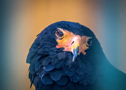 19th Jun 2019 - Bateleur Eagle