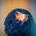 Bateleur Eagle by rosiekerr