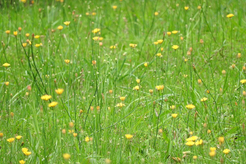 Knee deep in dandelions by homeschoolmom