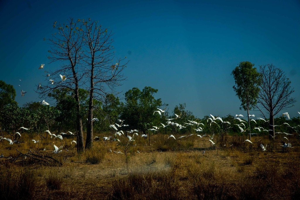 Corellas by pusspup