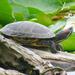 Brave Turtle by seattlite
