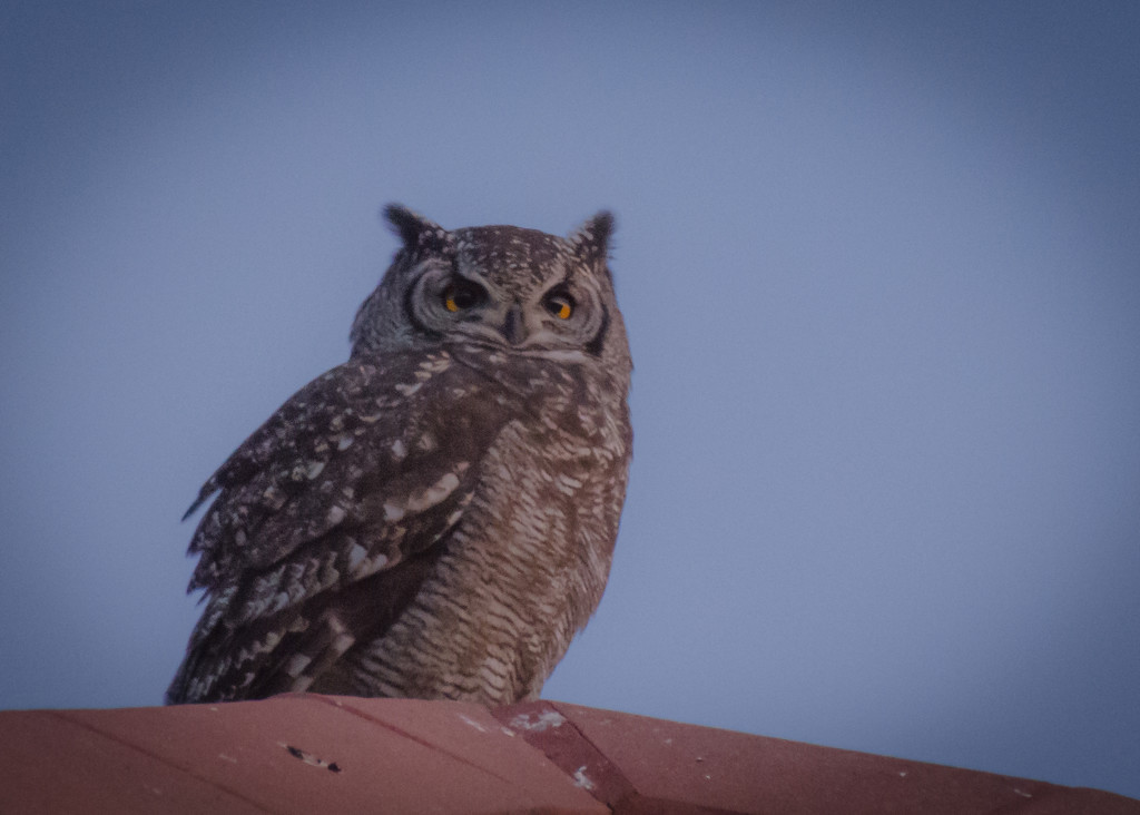 Owl at sunset by salza