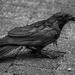 Damp Crow