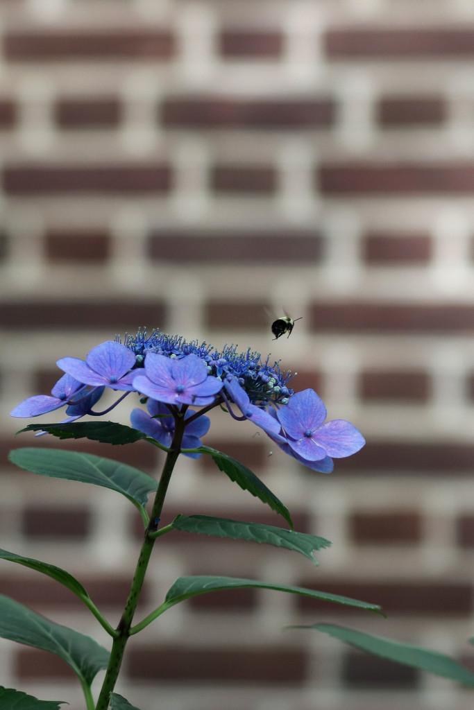 Bee and Hydrangea by lynbonn