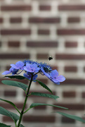 16th Jun 2019 - Bee and Hydrangea