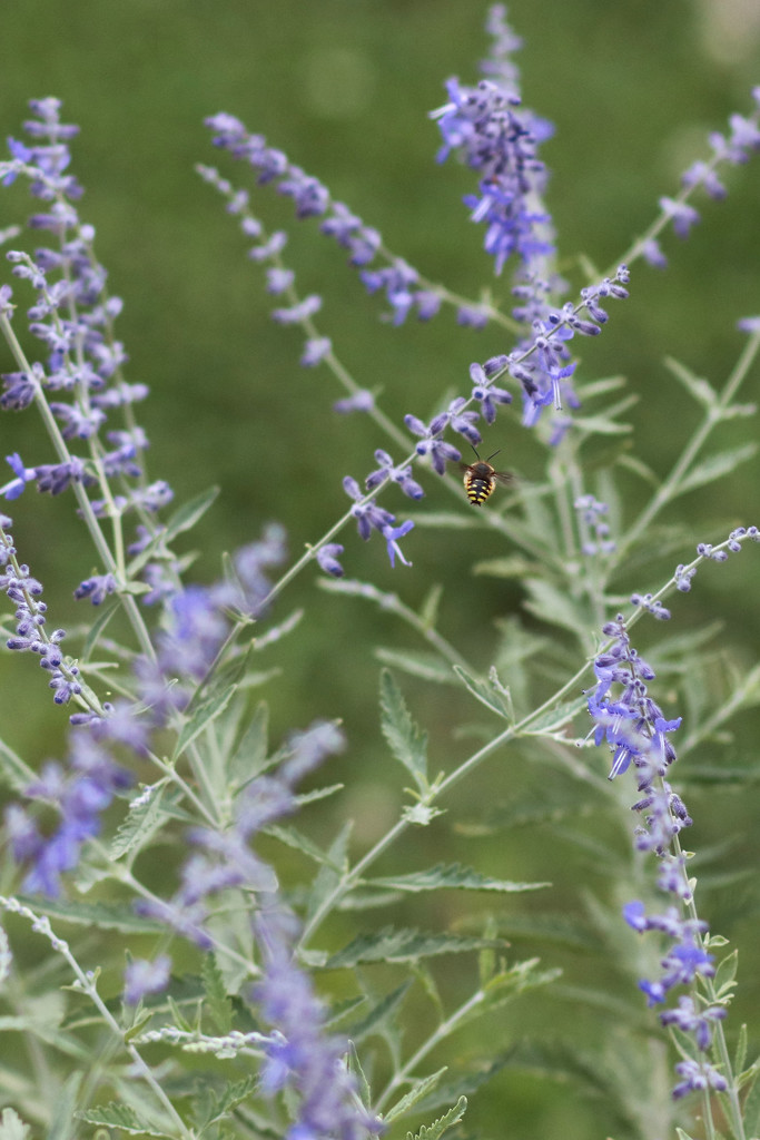 Bee and Russian Sage by lynbonn