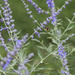 Bee and Russian Sage