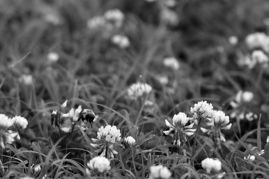 Bee in Clover by lynbonn