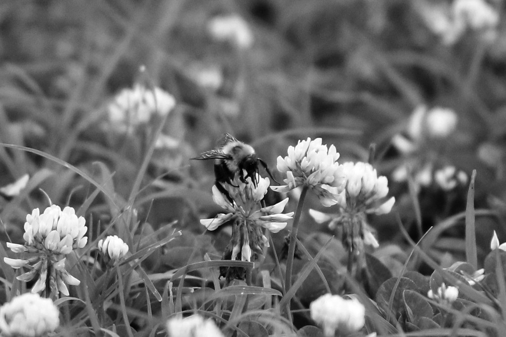 Bee in Clover by lynbonn