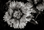 20th Jun 2019 - B&W Macro Challenge: Dianthus... and friend