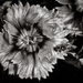B&W Macro Challenge: Dianthus... and friend