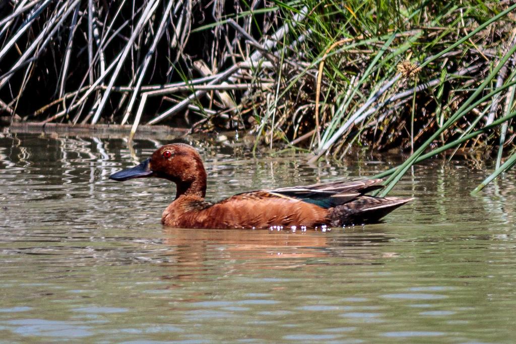 Cinnamon teal duck by lindasees
