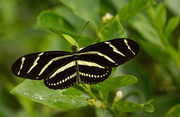 20th Jun 2019 - My First Zebrawing Butterfly for the Season!