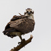 Mom Osprey Trying Her Balancing Act!