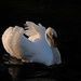 White (mute) swan