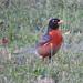 Robin visitor