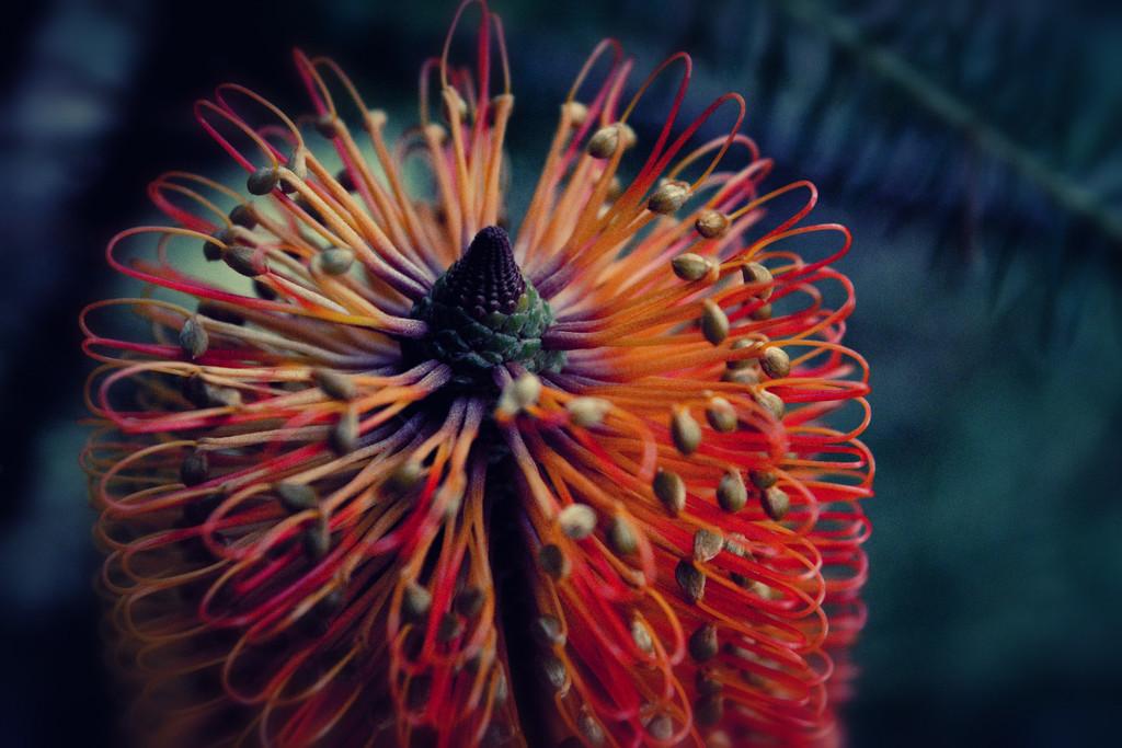 30 Days Wild - Banksia by annied