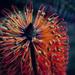 30 Days Wild - Banksia