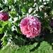 Sugar-pink poppy