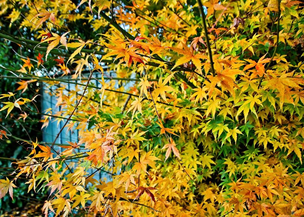 Midwinter maple by kiwinanna