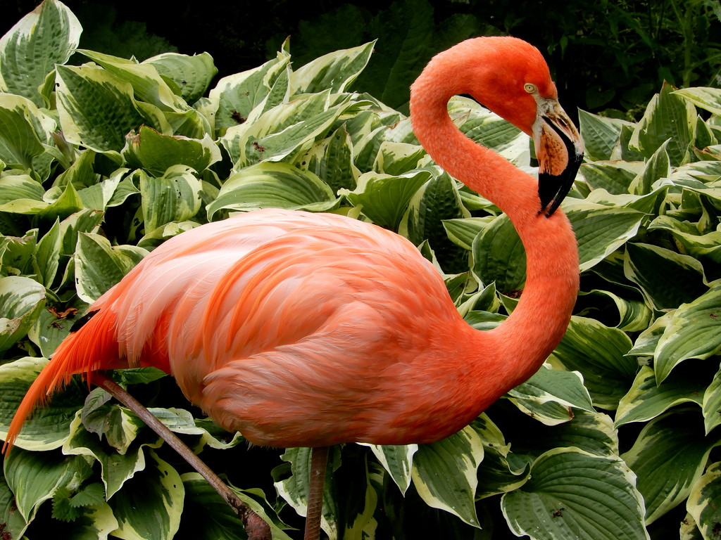 Flamingo at Coton Manor by busylady