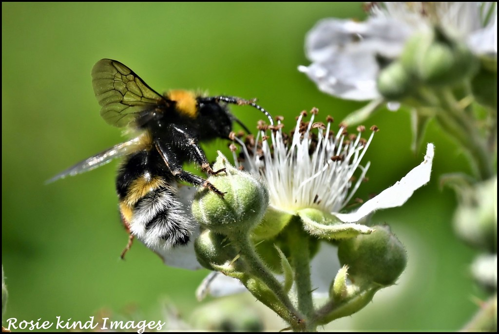 Fluffy bee by rosiekind