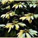 Yellow Poinsettia Flowers ~