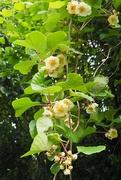 21st Jun 2019 - Kiwi Fruit Blossom