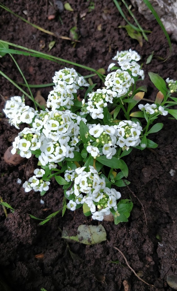 30 Days Wild : Day 18 : Planting some Alyssum by roachling