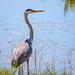 Great Blue Heron by lindasees