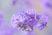 21st Jun 2019 - Lavender