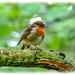 A Sweet Little Robin