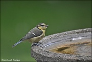 22nd Jun 2019 - One of the young blue tits