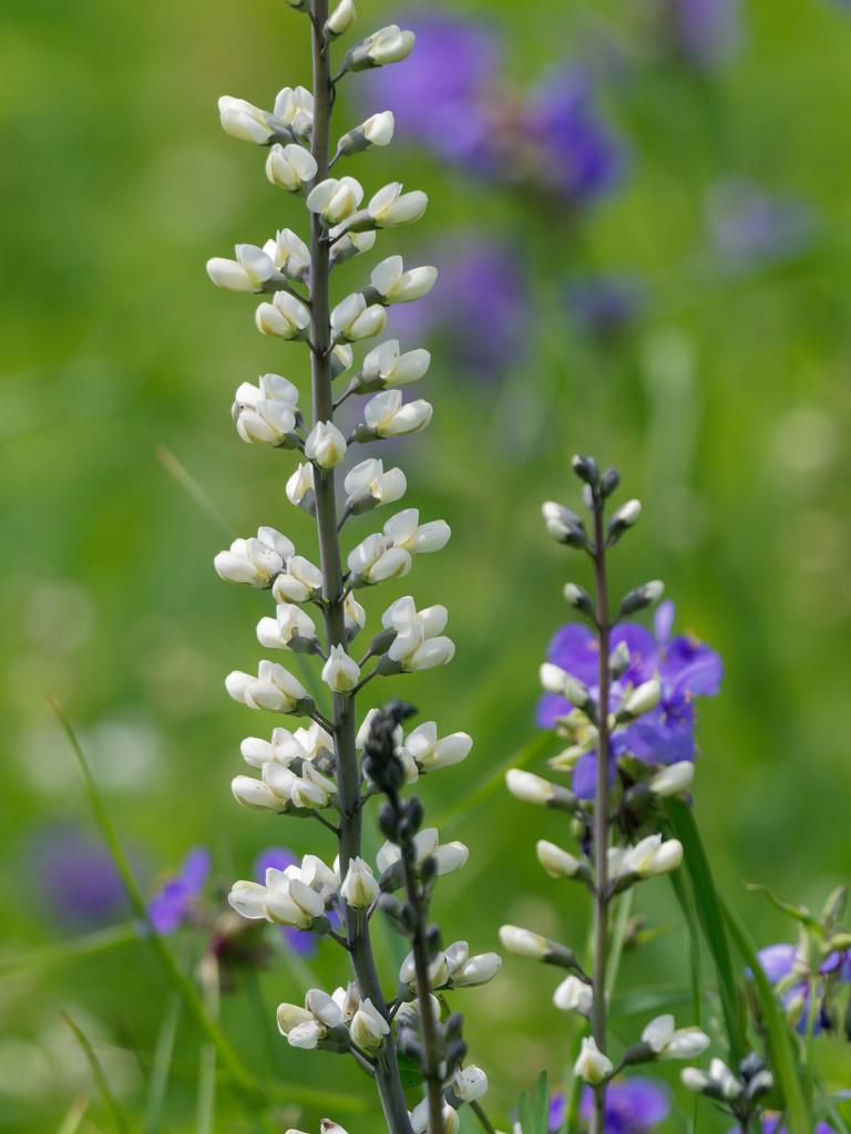 wild indigo and spiderwort by rminer