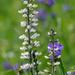 wild indigo and spiderwort