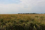 22nd Jun 2019 - Barley