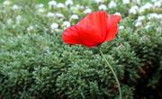 22nd Jun 2019 - Single Poppy (Helios 44m-4 58mm Vintage lens)