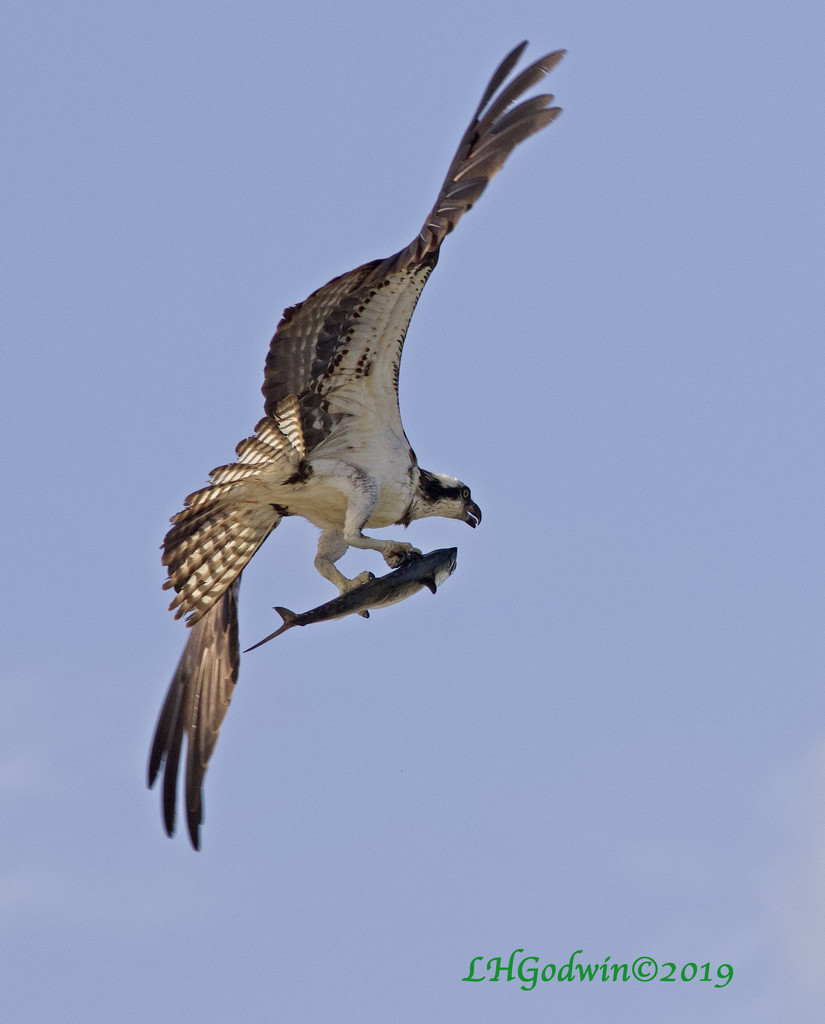 LHG_9960 osprey with fish by rontu