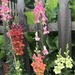 Snapdragons along a picket fence by tunia