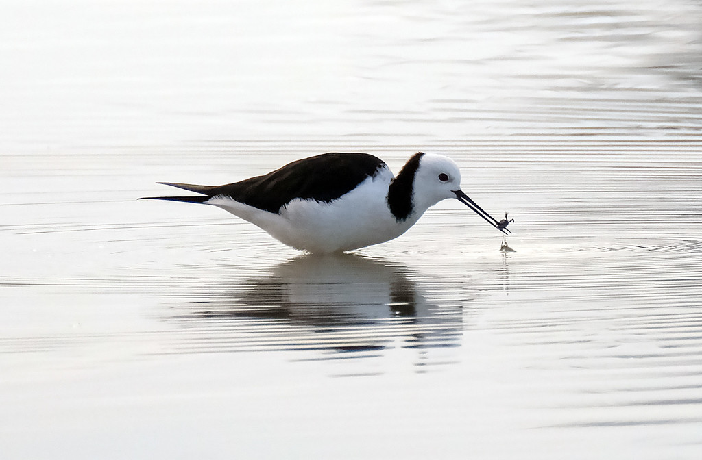Pied stilt with a crab by maureenpp
