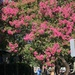The brilliant blooms of crepe myrtle are at peak in our city now.