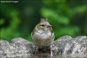 23rd Jun 2019 - This little chaffinch stopped by for a drink