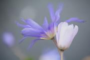 23rd Jun 2019 - Purple and white anenome........
