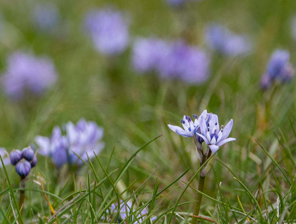 Spring squill on a squally day by inthecloud5
