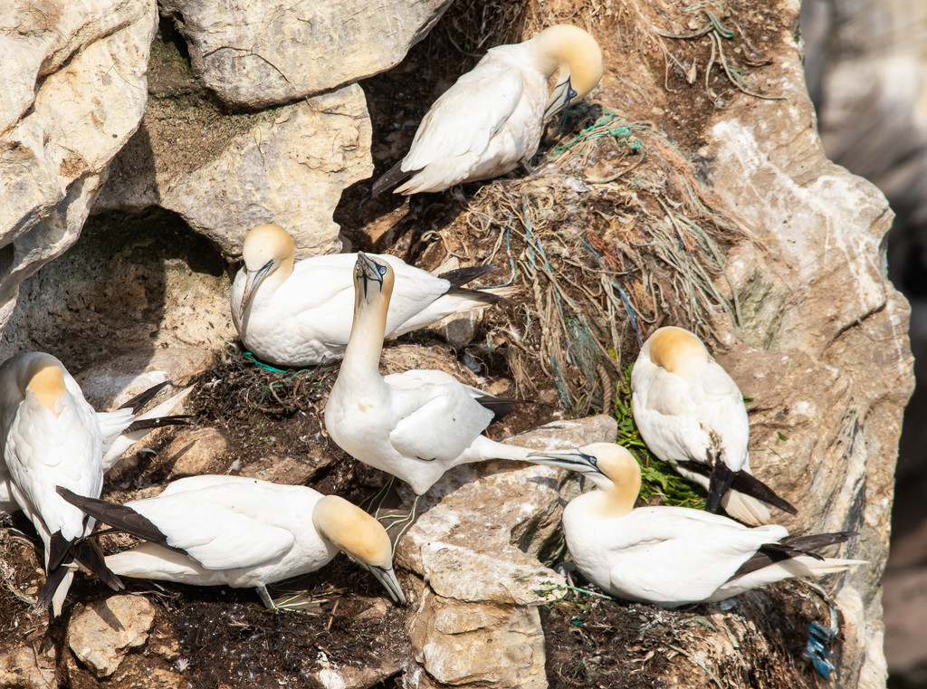 Gannets recycle plastic by inthecloud5
