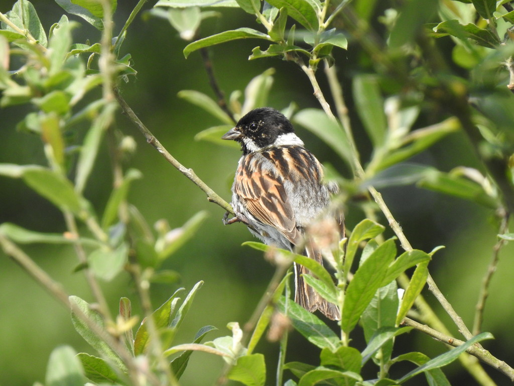 Mr Reed Bunting  by susiemc