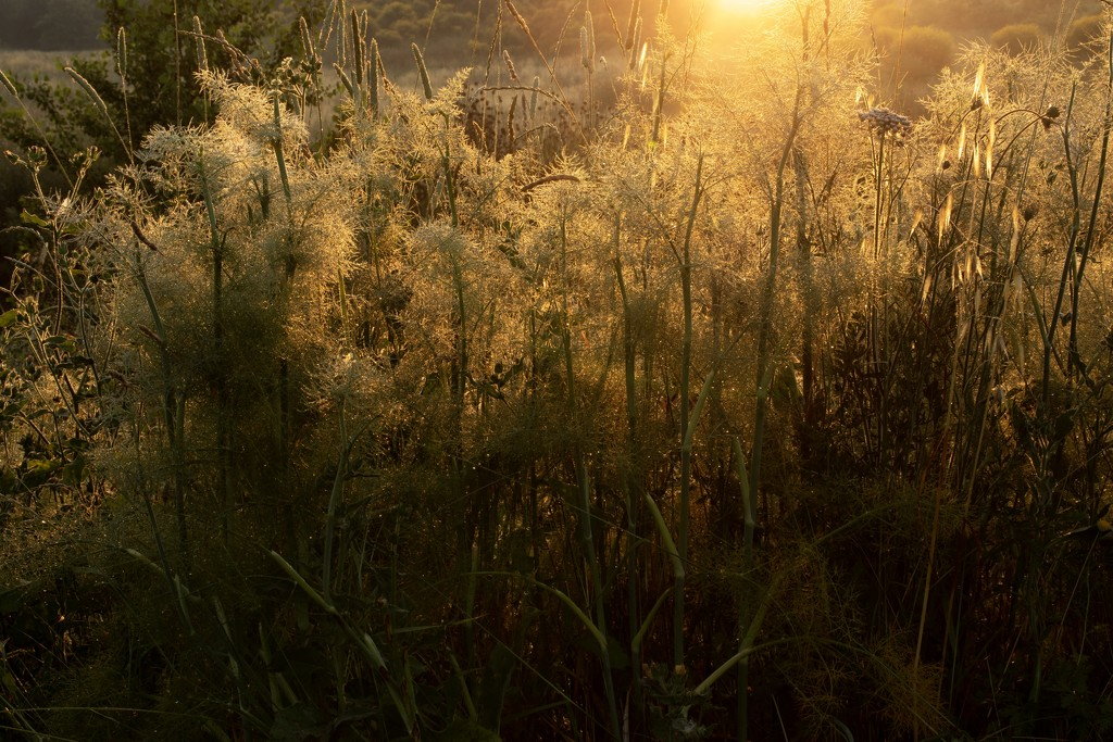 Golden wild fennel by angelikavr
