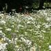 Wild Flower Garden Bury St Edmunds